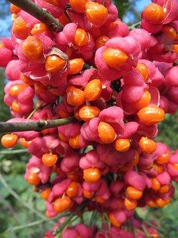 Euonymus Europaeus, Spindle, European Spindle