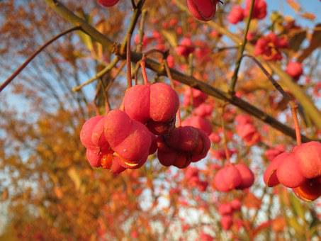 Euonymus Europaeus, Spindle, European Spindle