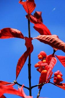 Euonymus Europaeus, European Euonymus, Autumn, Leaves
