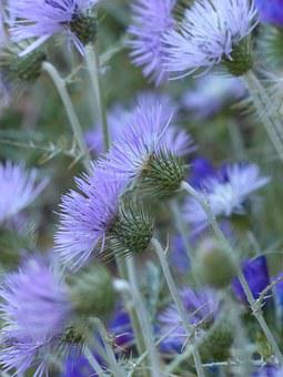 Steal-thistle, Thistle, Blossom, Bloom, Flower, Violet