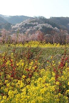 Fukushima, Cherry Blossom Viewing Mountains