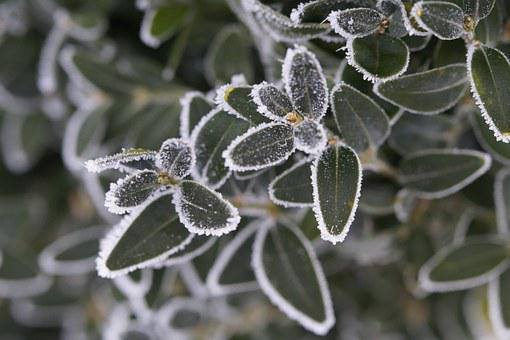 Branch, Leaves, Iced, Icy, Hoarfrost, Winter, Cold