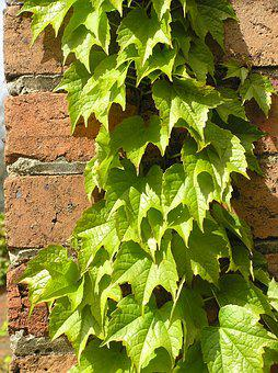 Ivy Growing, On A Brick Wall, In The Garden