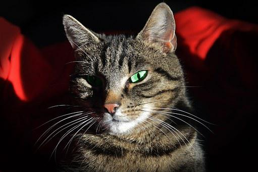 Cat, Tomcat, Kitten, Animal, Animals, Fur, Pet