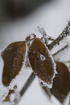 Branch, Iced, Icy, Hoarfrost, Leaves, Winter, Cold