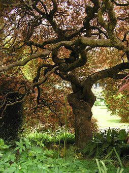 Magnificent, Weeping, Japanese Maple, In Autumn