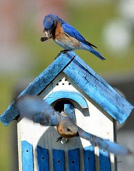 Bluebird, Bird, Aviary, Nature, Animal, Wildlife