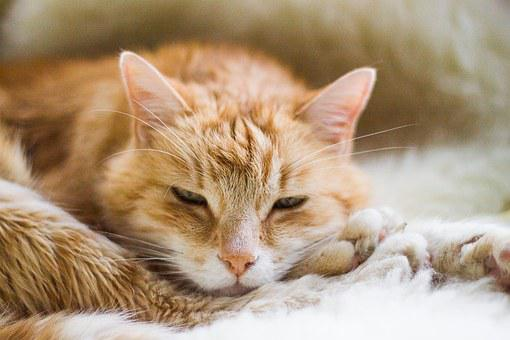 Cat, Adidas, Red Tomcat, Sleeping