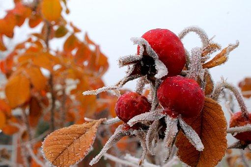 Rose Hip, Frozen, Hoarfrost, Freeze, December, Season