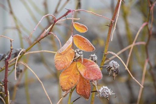 Frost, Leaf, Yellow, Orange, Rose Petals, Plant, Garden