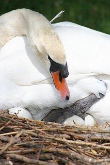 Animal, Swan, Beak, Feathers, Eggs, Nest