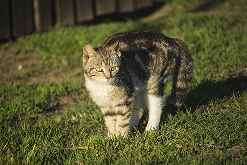 Cat, Dachowiec, Tomcat, A Normal Cat, Charming, Fur