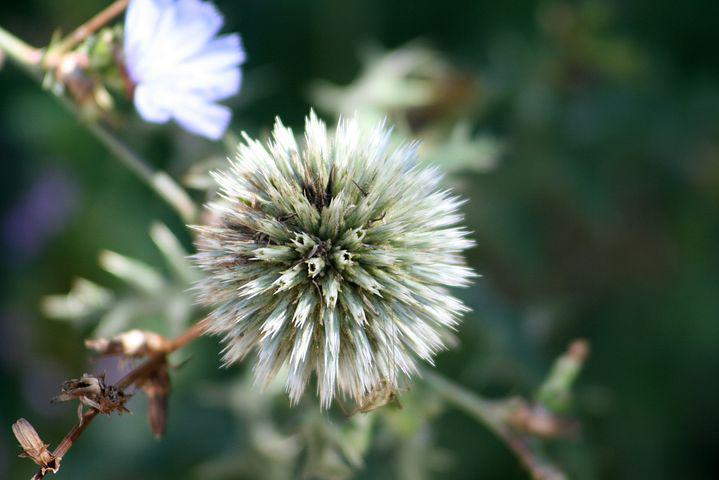 Plant, Field, Agra Plant, Meadow, Wild Flower
