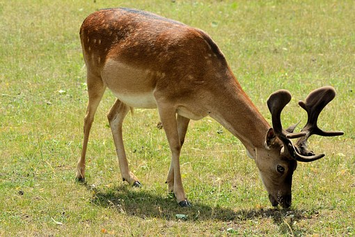 Hirsch, Young-stag, Summer, Nature, Antler, Animal