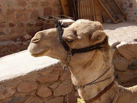 Camel, Egypt, Animal, Transport, Desert, Travel