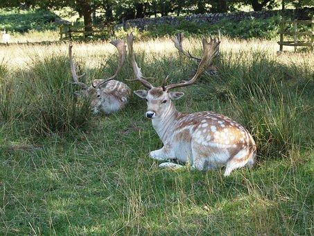 Deer, Park, Fallow, Nature, Mammal, Stag, Antlers