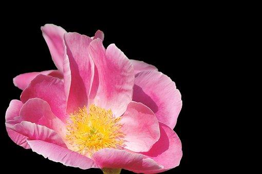 Potato Rose, Japan Rose, Apple Rose, Blossom, Bloom