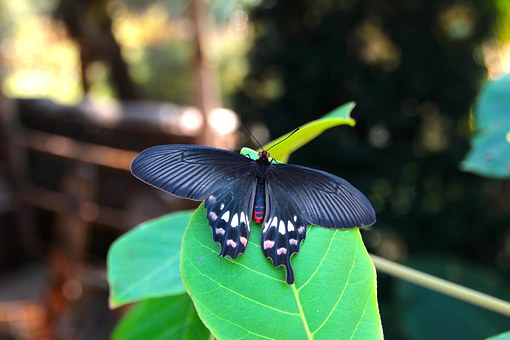 Philaethria Dido, Butterfly, Tropical