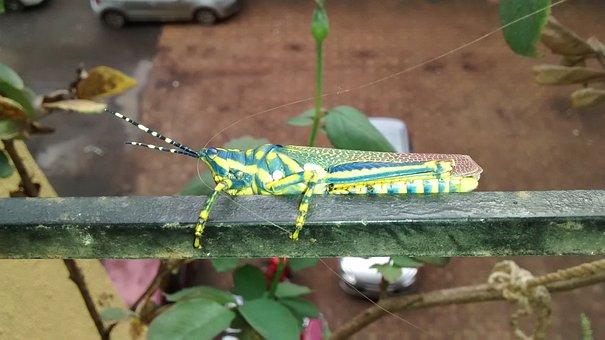 Grasshopper, Colour Full Grasshopper, Insect, Color