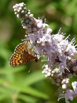 Butterfly, Melitaea Phoebe, Damero Knapweed, Libar