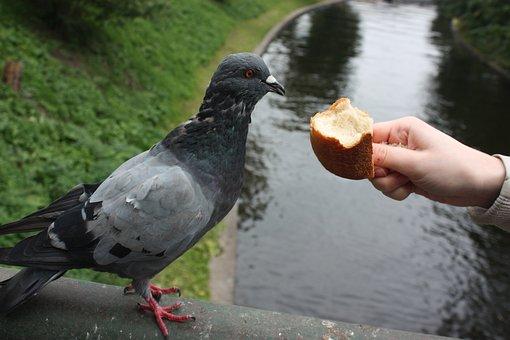 Bird, Dove, Feed, Bread, Muffin, Hand