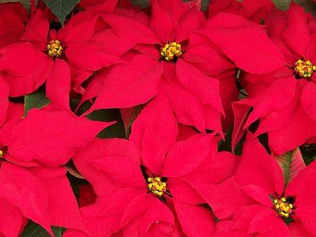 Poinsettias, Flowers, Christmas, Xmas, Decoration