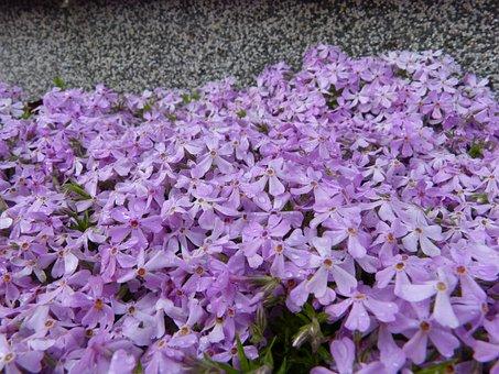 Forget Me Maybe, Sea Of Flowers, Flowers, Blütenmeer