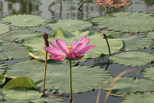 Lotus, He Tang