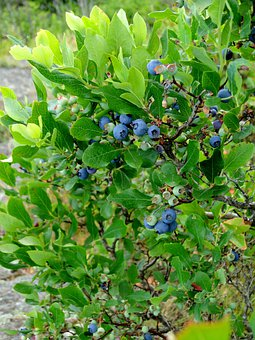 Blueberry, Bush, Shrub, Highbush, Blueberries, Growing