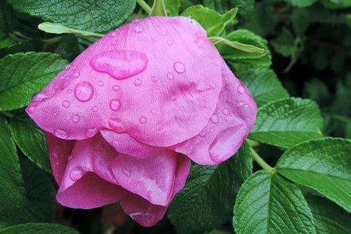 Drop Of Water, Potato Rose, Japan Rose, Apple Rose