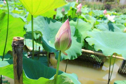 Lotus, Lotus Leaf, He Tang