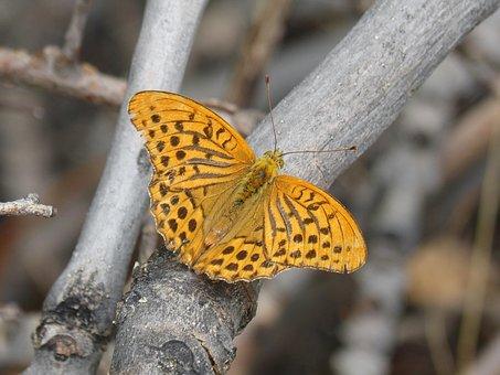 Butterfly, Melitaea Deione, Damer Dels Conillets