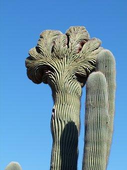 Cactus, Nature, Arizona, Botany, Green, Growth, Natural