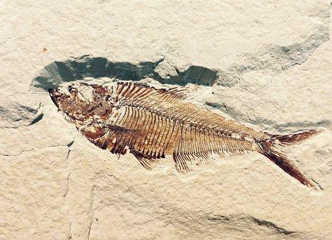 Fossil, Petrification, Stone, Fish, Petrified