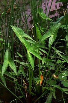 He Tang, Plant, Arrowhead, Pond, Summer, Aquatic Plants