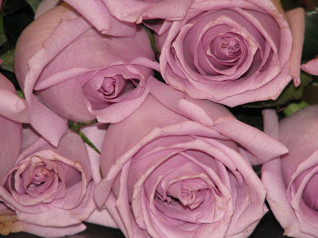 Purple, Rose, Flower, Lilac, Bouquet, Fresh, Pink