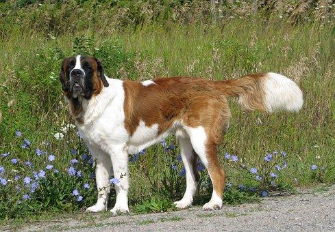 Domestic Dog, Canis Familiaris, Saint Bernard