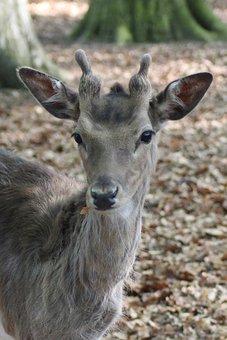 Hirsch, Fallow Deer, Roe Deer, Scheu, Nature