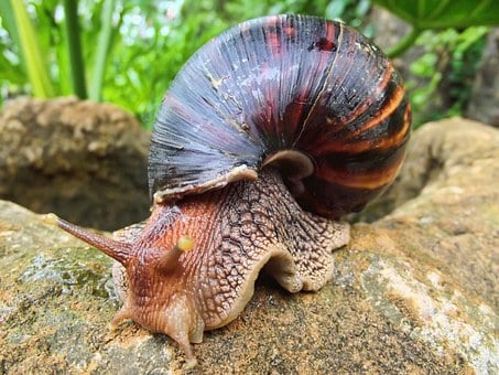 Snail, African, South Africa, Giant, Land, Gals