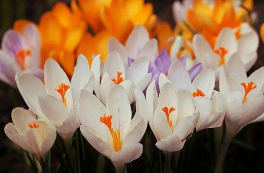 Crocus, Flowers, Flower, Spring, Close, Full Bloom