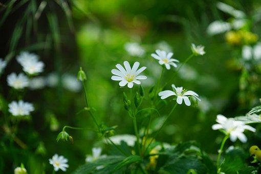 Stellaria Holostea, Flowers, White, Stitchwort