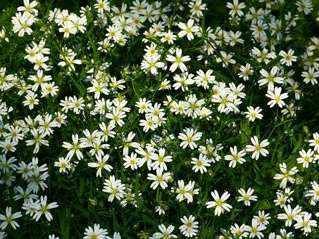 Stitchwort, Flowers, White, Chickweed, Dianthus, Plant