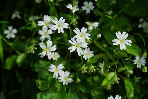 Stitchwort, Flowers, White, Chickweed, Carnation Family