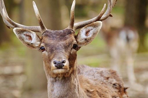 Wild, Hirsch, Wildpark Poing, Nature, Young-stag