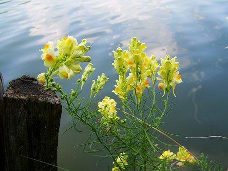 Wild Snapdragon, Yellow, Agra Plant