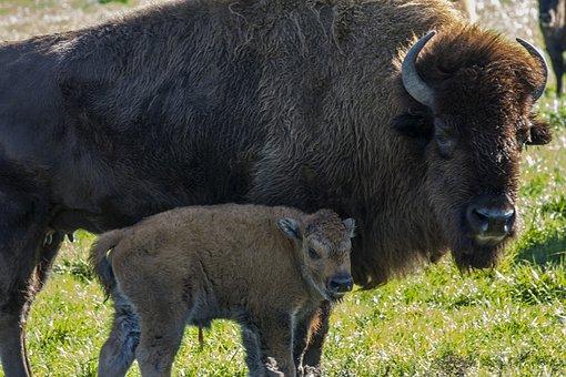 Buffalo, Calf, Farm, Rural, Baby, Animal, Bison, Field