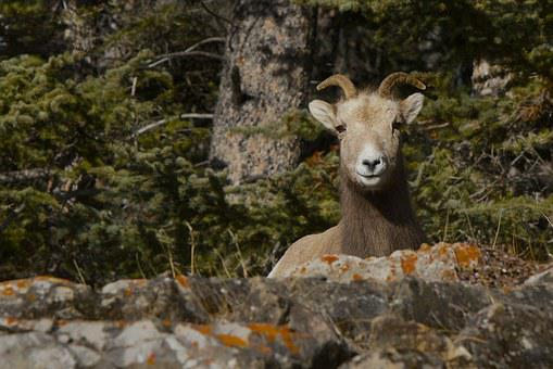 Big Horn Sheep, Horns, Sheep, Animal, Wildlife