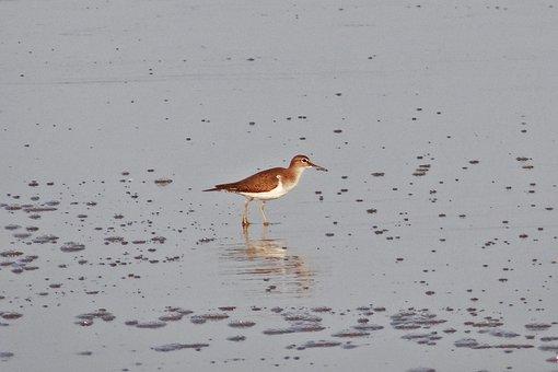 Common Sandpiper, Bird, Beach, Wader, Karwar, India