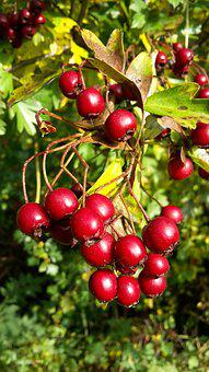 Hawthorn, Tree, Bush, Berry