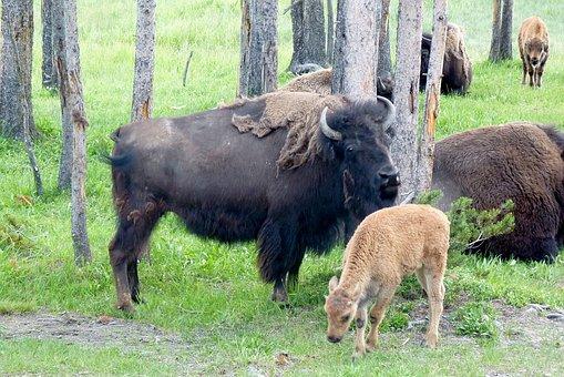 Buffalo, Bison, Animal, Wild, American, Mammal, Bull